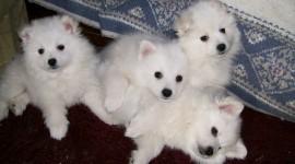 American Eskimo Dog Photo Download