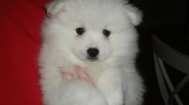 American Eskimo Dog Photo Free
