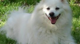 American Eskimo Dog Photo Free#1