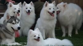 American Eskimo Dog Photo#1