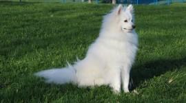 American Eskimo Dog Photo#2