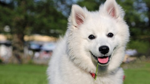 American Eskimo Dog wallpapers high quality