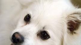 American Eskimo Dog Wallpaper For Mobile#1