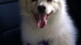 American Eskimo Dog Wallpaper For Mobile#2