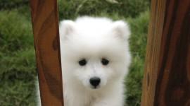 American Eskimo Dog Wallpaper FreeAmerican Eskimo Dog Wallpaper Free