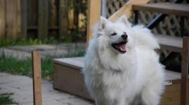 American Eskimo Dog Wallpaper Full HD