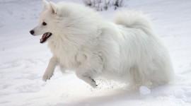 American Eskimo Dog Wallpaper HQ