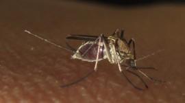 Anopheles Macullipennis Photo#1