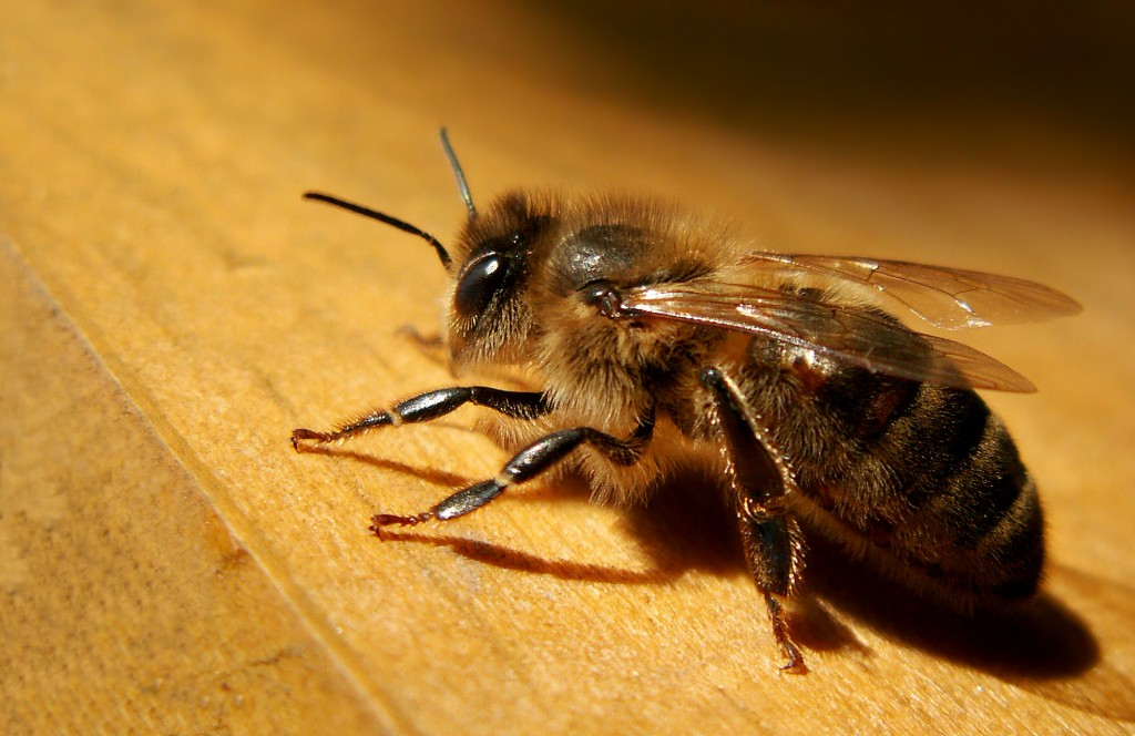 Apis Mellifera wallpapers HD
