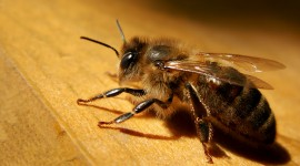 Apis Mellifera Best Wallpaper