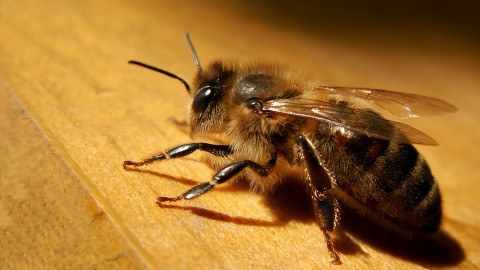 Apis Mellifera wallpapers high quality