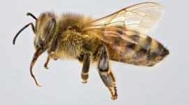 Apis Mellifera Photo