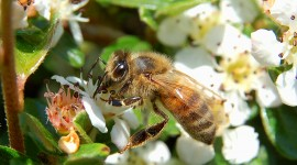 Apis Mellifera Photo Free#2