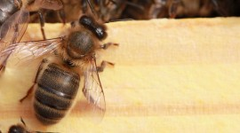 Apis Mellifera Photo Free#3