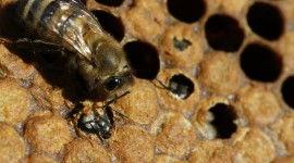 Apis Mellifera Photo#1