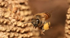 Apis Mellifera Wallpaper For PC