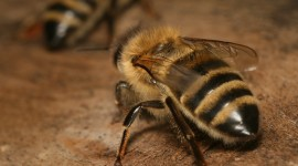 Apis Mellifera Wallpaper Free