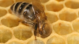 Apis Mellifera Wallpaper Gallery