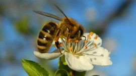 Apis Mellifera Wallpaper HQ