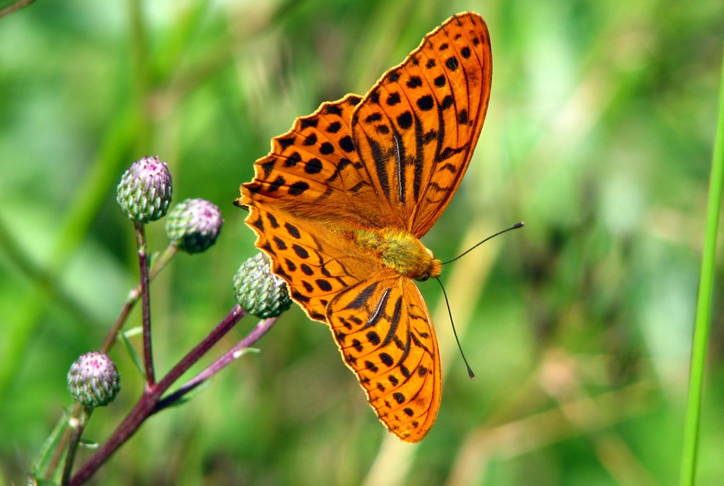 Argynnis wallpapers HD