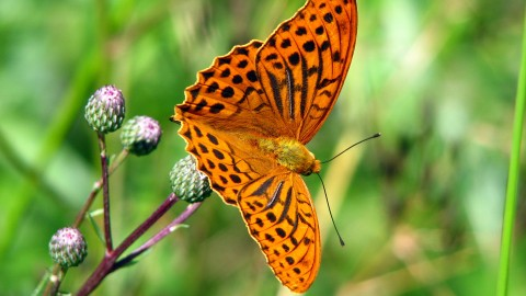 Argynnis wallpapers high quality
