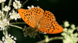 Argynnis Desktop Wallpaper For PC
