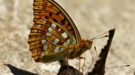 Argynnis Desktop Wallpaper HD