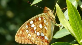 Argynnis Photo
