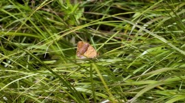 Argynnis Photo Download