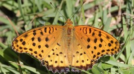 Argynnis Photo Download#1