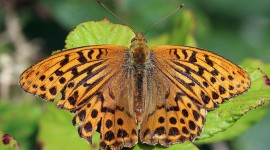 Argynnis Photo Free