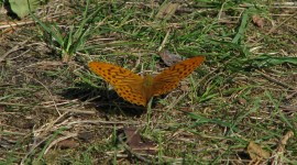 Argynnis Photo Free#1