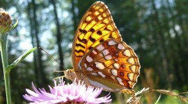 Argynnis Photo#1