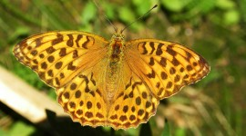 Argynnis Photo#2