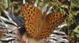 Argynnis Photo#3
