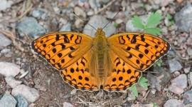Argynnis Wallpaper