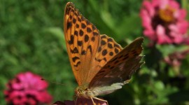 Argynnis Wallpaper Download