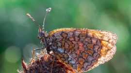 Argynnis Wallpaper Download Free
