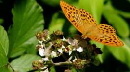 Argynnis Wallpaper For PC