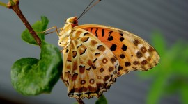 Argynnis Wallpaper Free