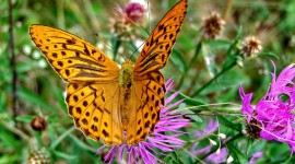 Argynnis Wallpaper Gallery