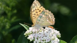 Argynnis Wallpaper HQ