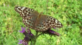 Argynnis Wallpaper HQ#1