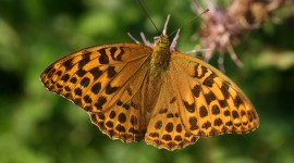Argynnis Wallpaper HQ#2