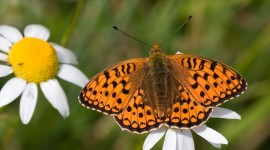 Argynnis Wallpaper#1
