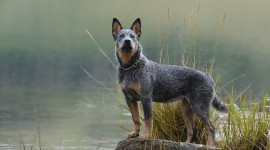 Australian Cattle Dog Photo