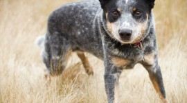 Australian Cattle Dog Photo Free