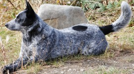 Australian Cattle Dog Photo Free#1