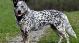 Australian Cattle Dog Photo#3