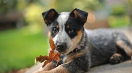 Australian Cattle Dog Wallpaper 1080p